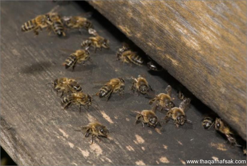 النحل- ثقف نفسك 10