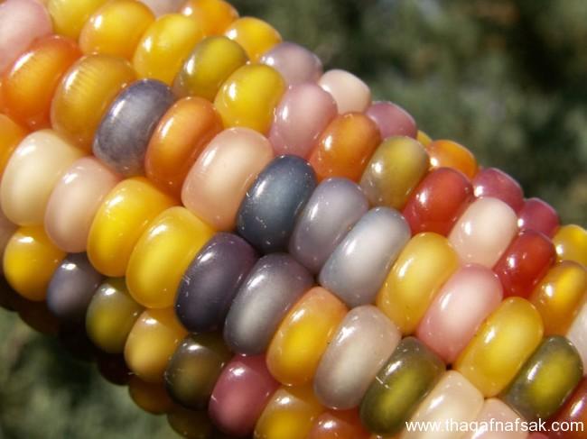 سلالة نادرة من الذرة جواهر الذرة الملونة ثقف-نفسك367.j