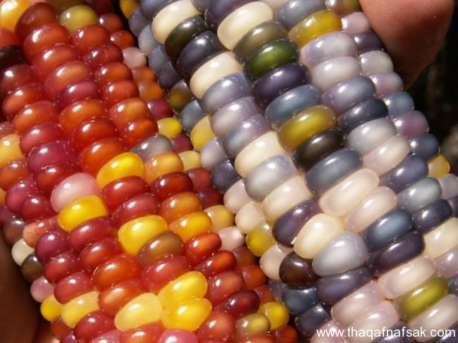 سلالة نادرة من الذرة جواهر الذرة الملونة ثقف-نفسك648.j
