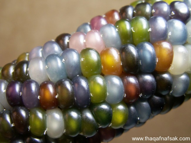 سلالة نادرة من الذرة جواهر الذرة الملونة ثقف-نفسك940.j