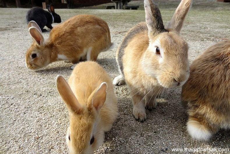 حقيقة جزيرة الأرانب في اليابان جزيرة-الأر�