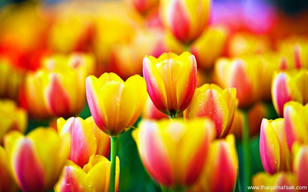 زهور ملونة ثقف نفسك9