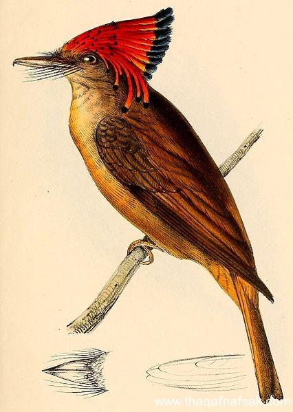 صور طائر الأمازون الملكي طائر-الامز�