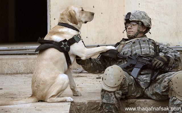 كلاب . ثقف نفسك 13 تخيل كيف يتم استخدام الكلاب في الحروب