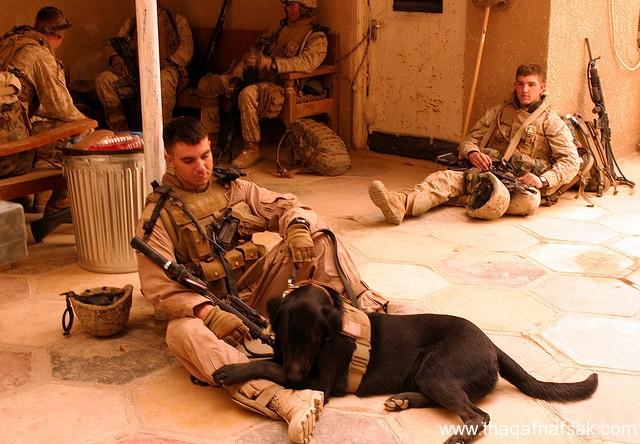 كلاب . ثقف نفسك 14 تخيل كيف يتم استخدام الكلاب في الحروب