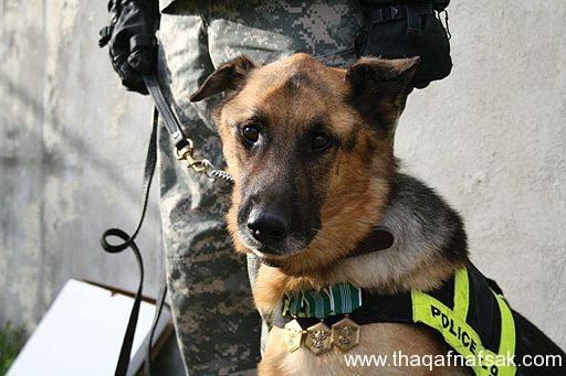 كلاب . ثقف نفسك 30 تخيل كيف يتم استخدام الكلاب في الحروب