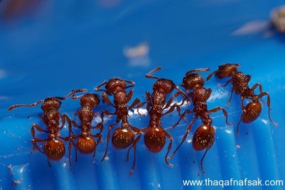 شاهد صور مدهشة من عالم النمل نمل-12-ثقف-ن�