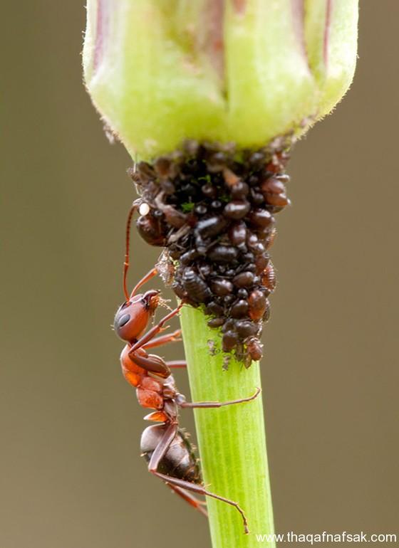 شاهد صور مدهشة من عالم النمل نمل-14-ثقف-ن�