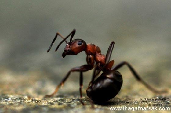 شاهد صور مدهشة من عالم النمل نمل-3-ثقف-نف