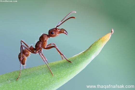 شاهد صور مدهشة من عالم النمل نمل-34-ثقف-ن�
