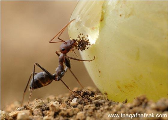 شاهد صور مدهشة من عالم النمل نمل-36-ثقف-ن�