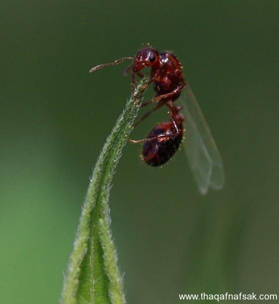 شاهد صور مدهشة من عالم النمل نمل-39-ثقف-ن�