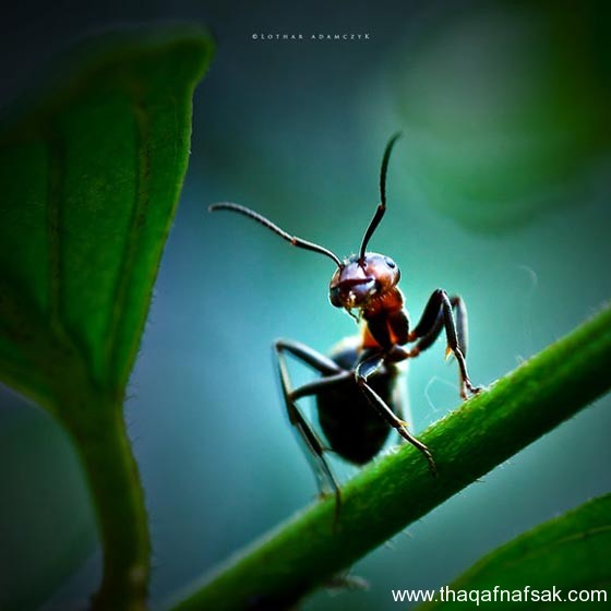 شاهد صور مدهشة من عالم النمل نمل-45-ثقف-ن�