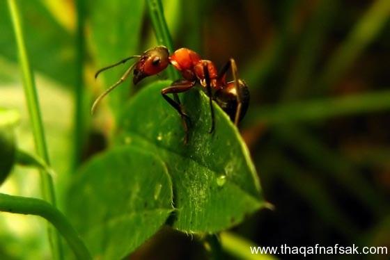 شاهد صور مدهشة من عالم النمل نمل-5-ثقف-نف