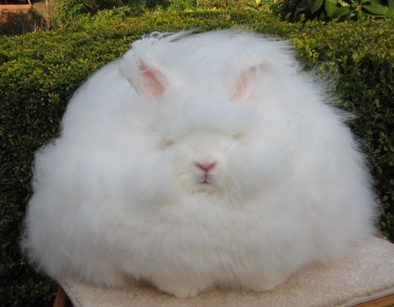 بالصور شاهد أرنب الأنجورا أغرب أرنب بالعالم