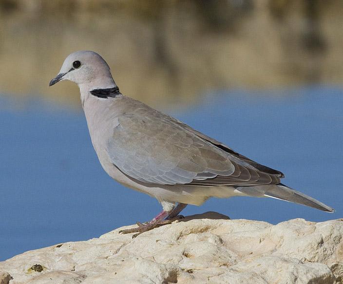 Ring Necked Dove Australia