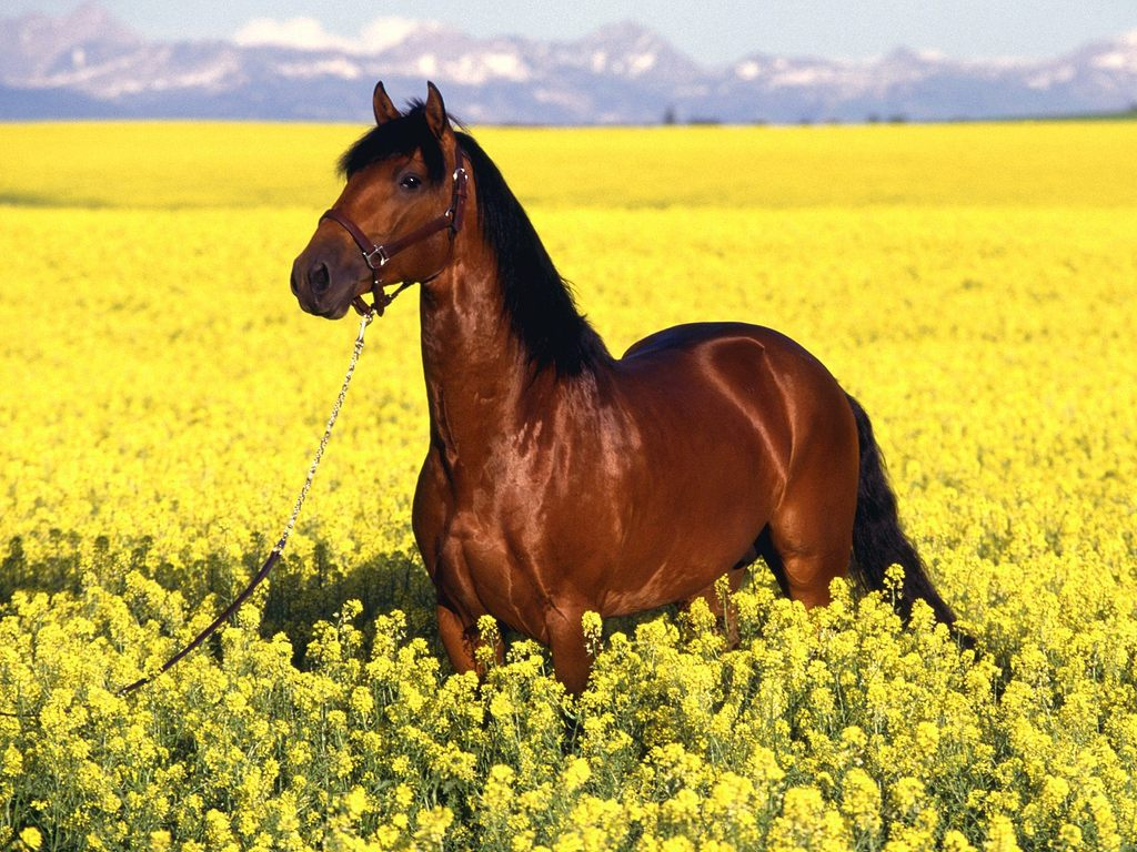 Top   Wallpaper Horse Yellow - %D8%AE%D9%8A%D9%84-  Best Photo Reference_661094.jpg