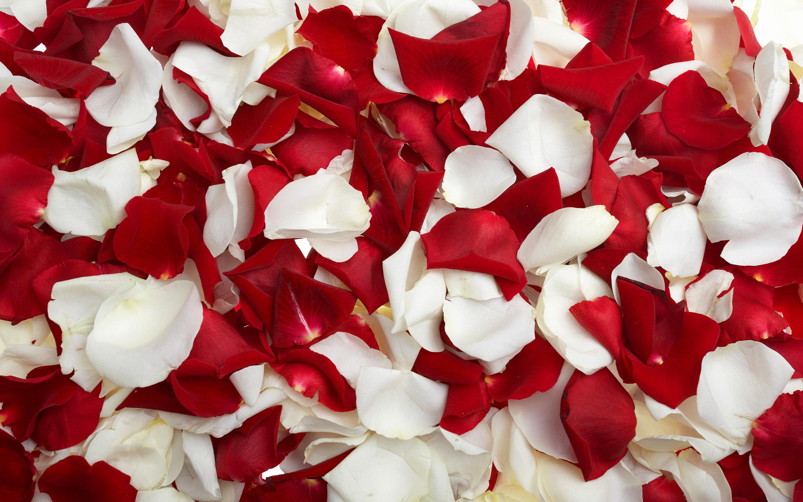- Red rose petals wallpaper ...