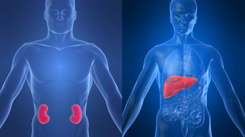 نصائح مهمة للحفاظ على صحة الكبد و الكلى  5_1_2_1_-KidneyLiver-copy