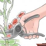 طريقة زراعة الورد المنزل واستمتع 670px-Grow-Roses-Step-12-150x150.jpg