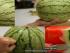 البطيخ-الناضج