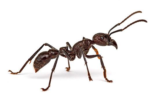أخطر 10 أنواع من النمل في العالم 11