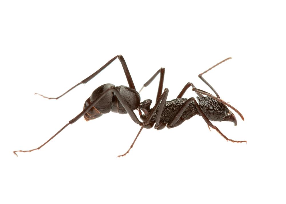 أخطر 10 أنواع من النمل في العالم 2