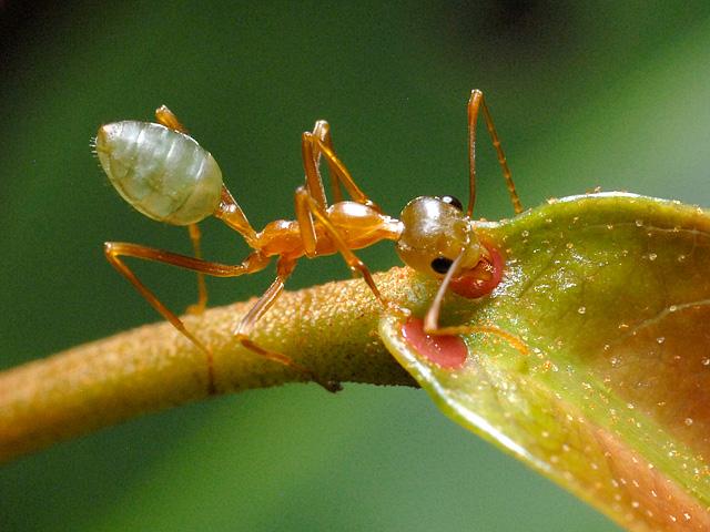 أخطر 10 أنواع من النمل في العالم 4