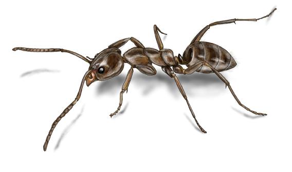 أخطر 10 أنواع من النمل في العالم 5