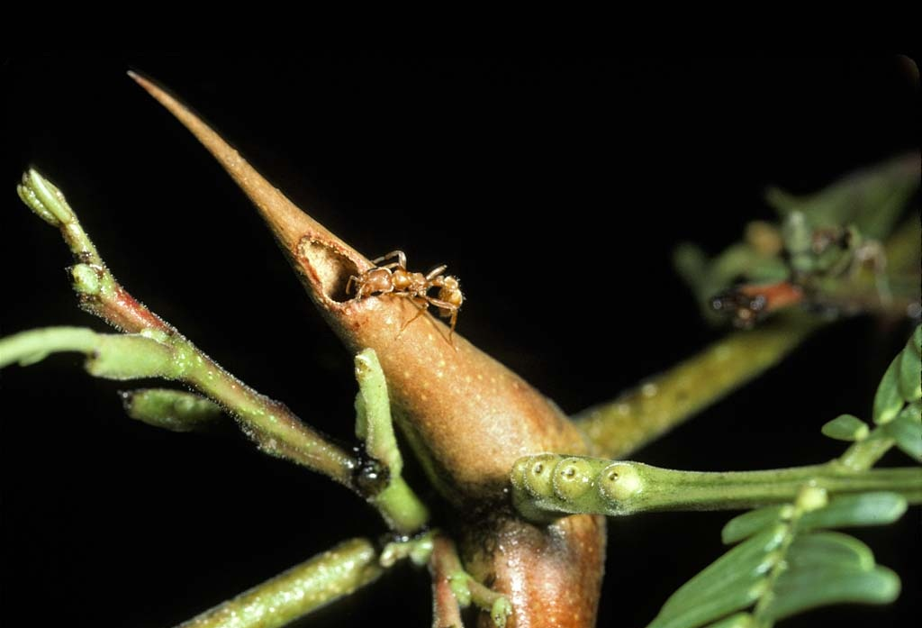 Ant_w_bullhorn_acacia_thorn_DP162