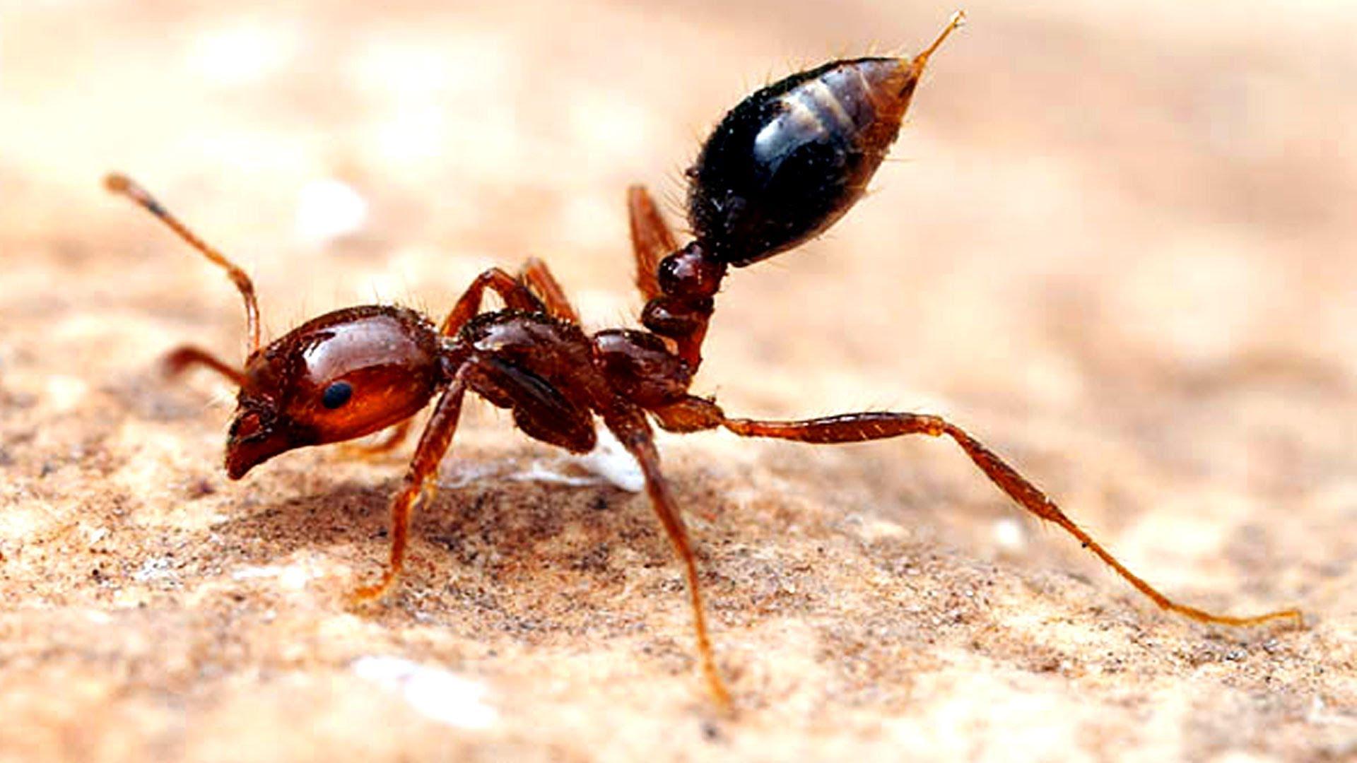 أخطر 10 أنواع من النمل في العالم 8