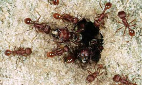 أخطر 10 أنواع من النمل في العالم 9