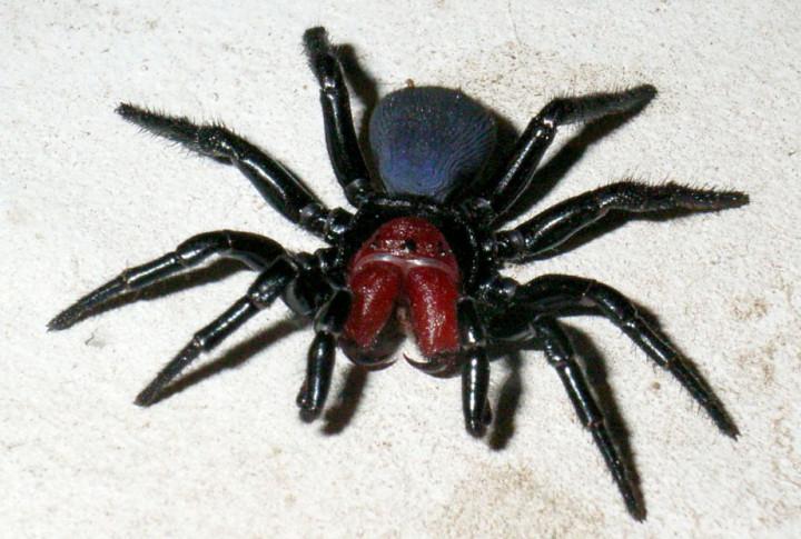 أخطر 10 عناكب في العالم 5