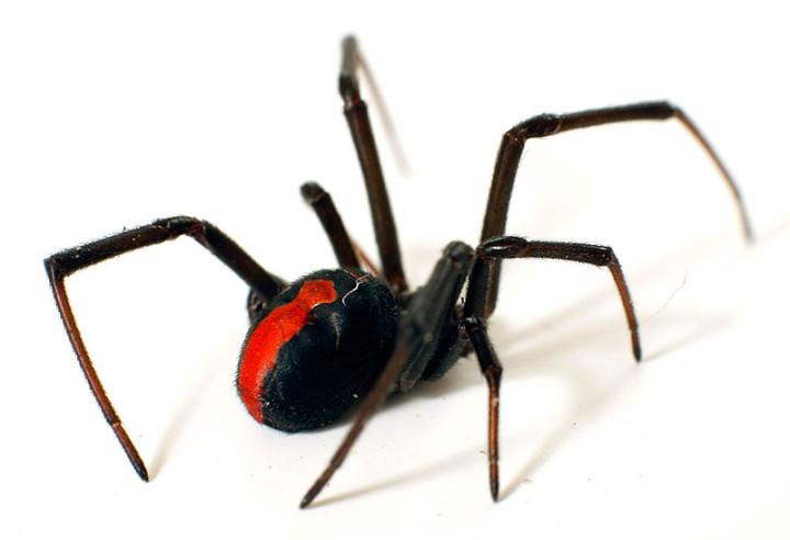 أخطر 10 عناكب في العالم 8