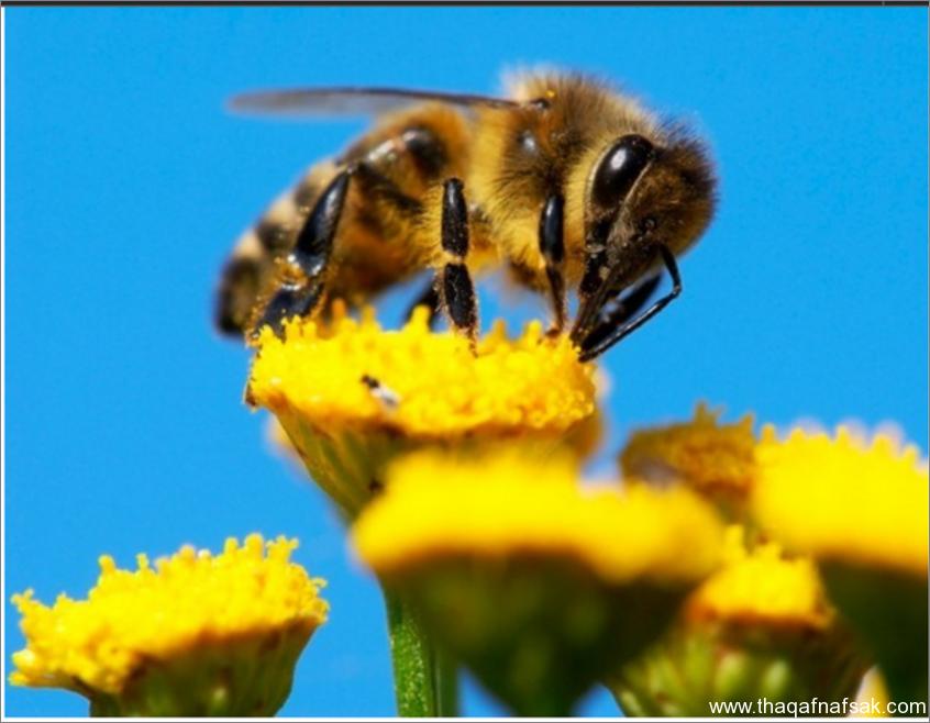 النحل- ثقف نفسك 1