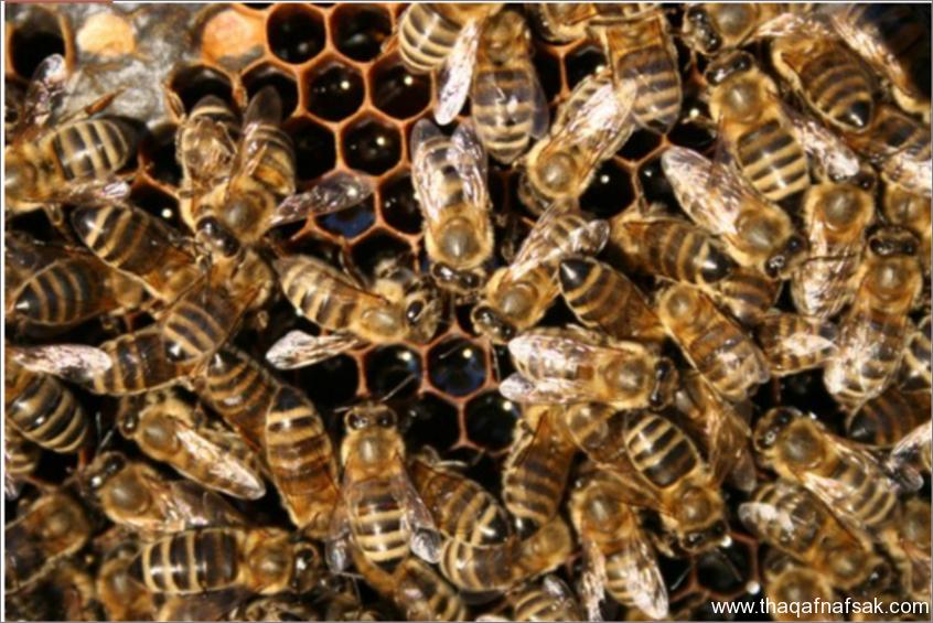 النحل- ثقف نفسك 2