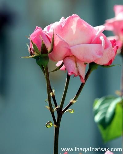 الورد . ثقف نفسك