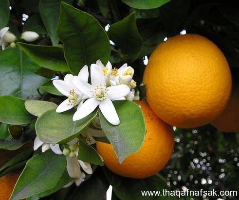 زهرة البرتقال . ثقف نفسك