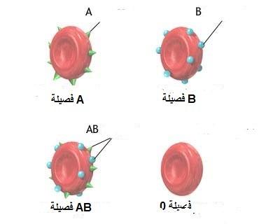 فصائل الدم ، ثقف نفسك 2