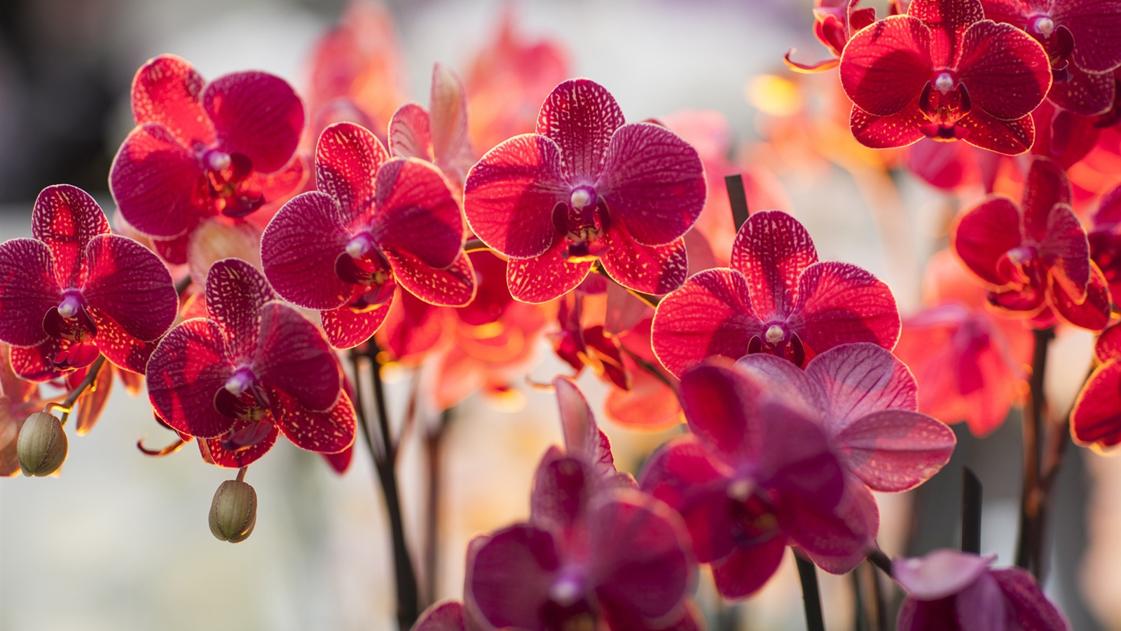 Flowers Wallpapers 5 Phalaenopsis Red Spring Wallpaper