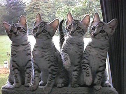أنواع القطط