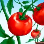 زراعة بذور الطماطم
