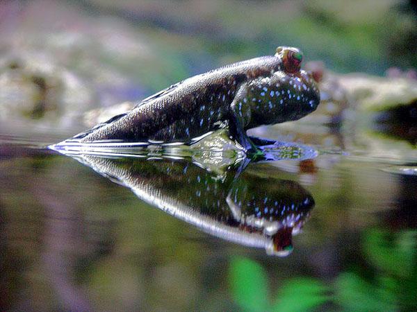 سمكة نطاط الطين