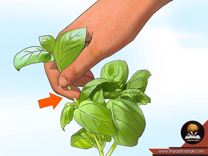 زراعة الريحان 17