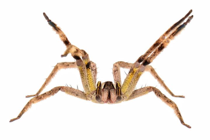 أخطر 10 عناكب في العالم 11