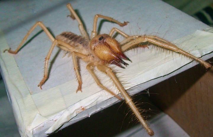 أخطر 10 عناكب في العالم 2