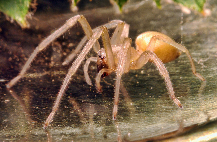 أخطر 10 عناكب في العالم 3