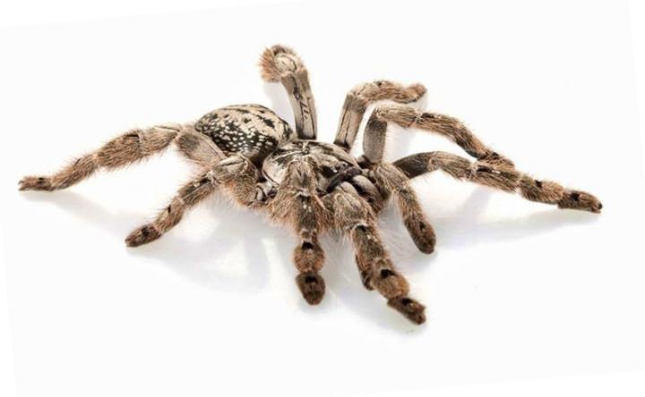 أخطر 10 عناكب في العالم 4