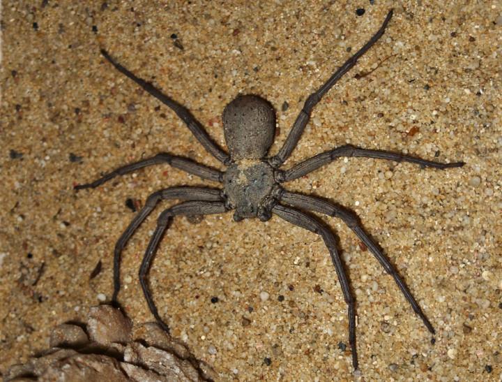 أخطر 10 عناكب في العالم 6