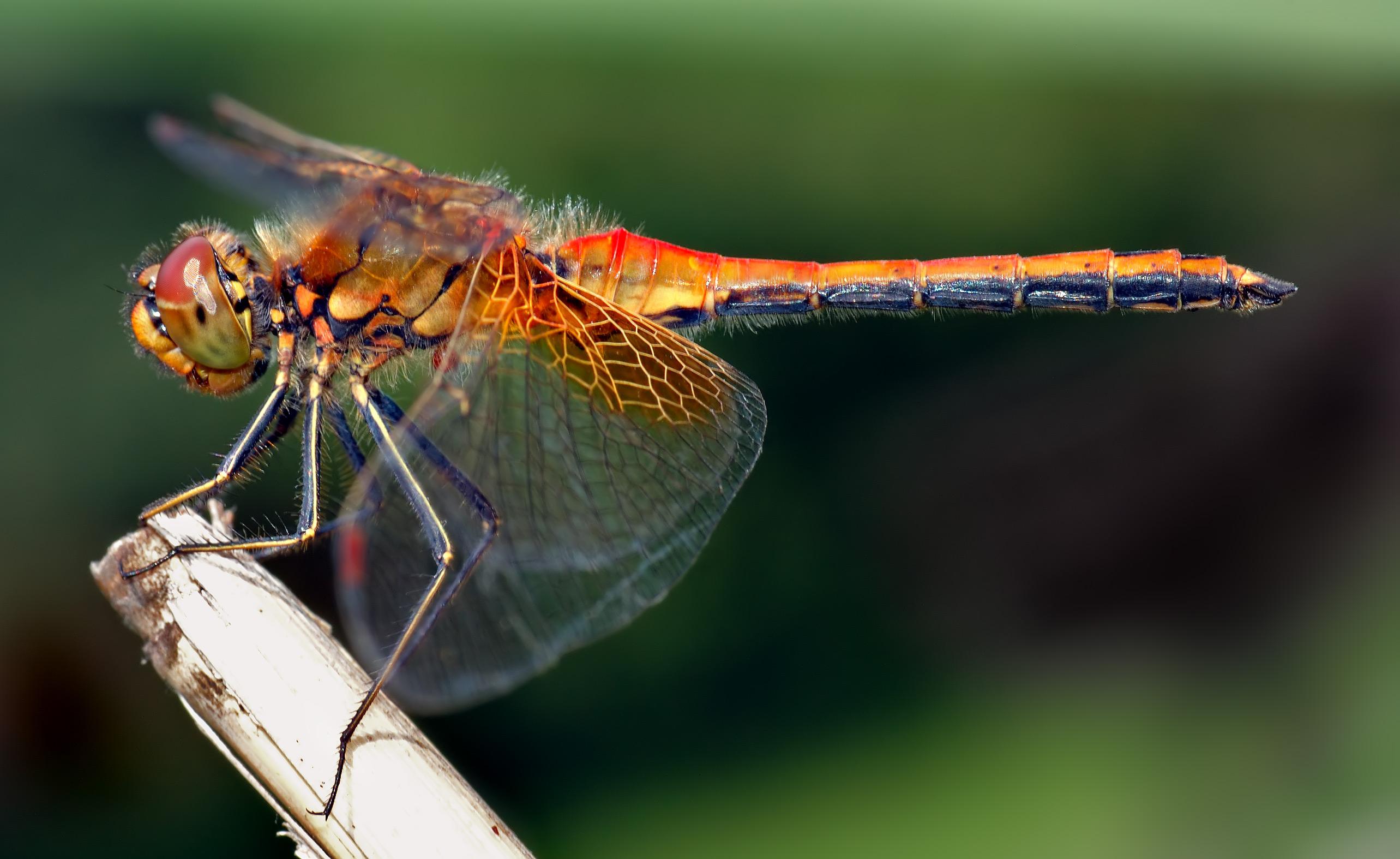 اليعسوب التصوير الدقيق لدورة حياته 1